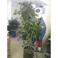 6 ft Silk  ficus tree